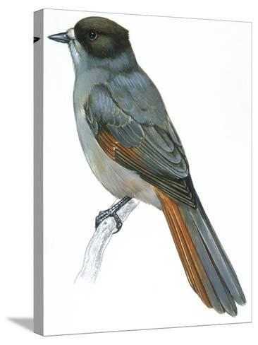 Birds: Passeriformes, Siberian Jay (Perisoreus Infaustus)--Stretched Canvas Print