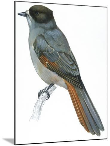 Birds: Passeriformes, Siberian Jay (Perisoreus Infaustus)--Mounted Giclee Print