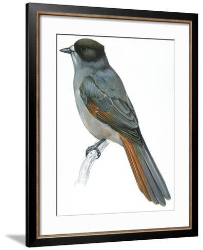 Birds: Passeriformes, Siberian Jay (Perisoreus Infaustus)--Framed Art Print