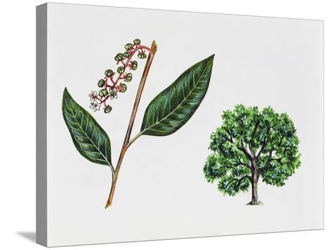 Ombu (Phytolacca Dioica), Phytolaccaceae, Tree, Leaves and Flowers--Stretched Canvas Print