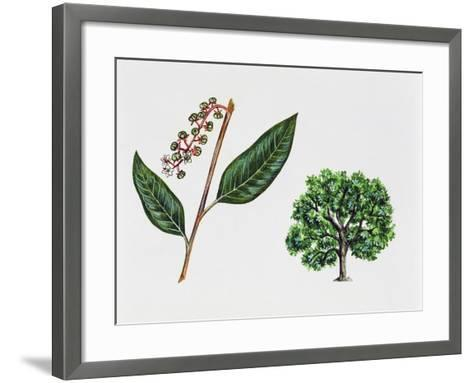 Ombu (Phytolacca Dioica), Phytolaccaceae, Tree, Leaves and Flowers--Framed Art Print