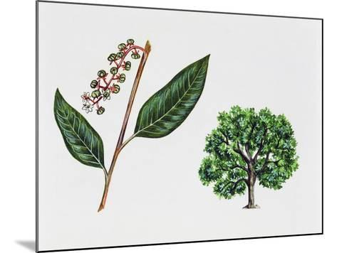 Ombu (Phytolacca Dioica), Phytolaccaceae, Tree, Leaves and Flowers--Mounted Giclee Print