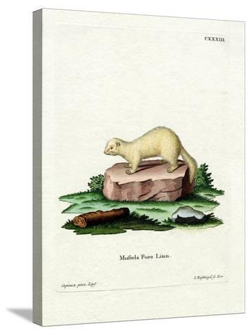 Ferret--Stretched Canvas Print