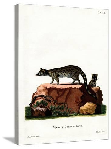 Common Genet--Stretched Canvas Print