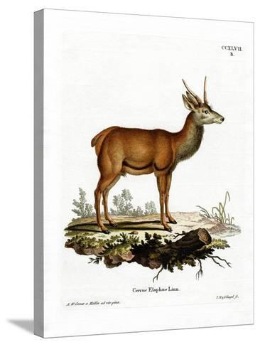 Red Deer--Stretched Canvas Print