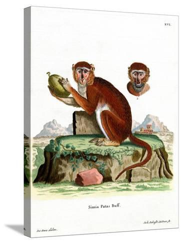 Patas Monkey--Stretched Canvas Print
