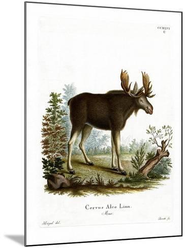 Moose--Mounted Giclee Print