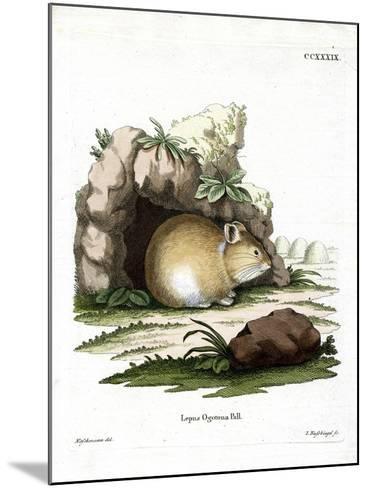 Daurian Pika--Mounted Giclee Print