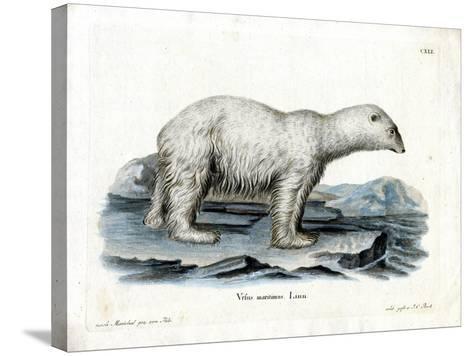 Polar Bear--Stretched Canvas Print