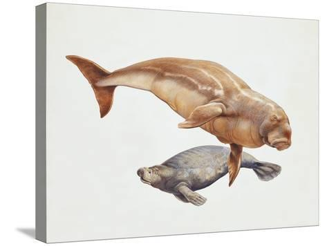 Close-Up of a Sea Cow (Trichechus Manatus) and a Dugong (Dugong Dugon)--Stretched Canvas Print