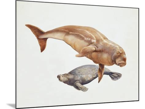 Close-Up of a Sea Cow (Trichechus Manatus) and a Dugong (Dugong Dugon)--Mounted Giclee Print