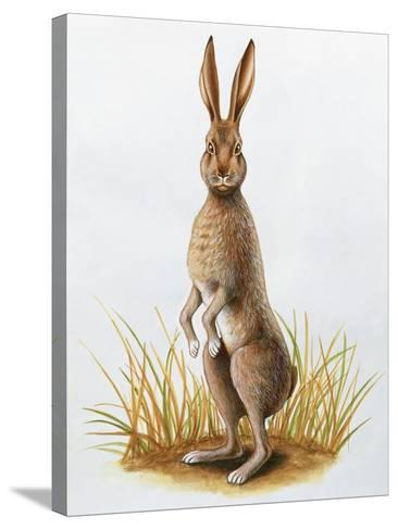 Close-Up of an European Hare Standing in Tall Grass (Lepus Europaeus)--Stretched Canvas Print