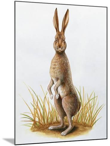 Close-Up of an European Hare Standing in Tall Grass (Lepus Europaeus)--Mounted Giclee Print