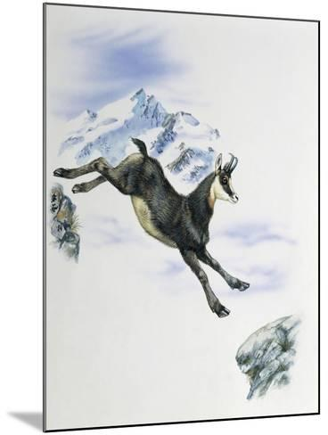 Side Profile of a Male Chamois Jumping on Rocks (Rupicapra Rupicapra)--Mounted Giclee Print