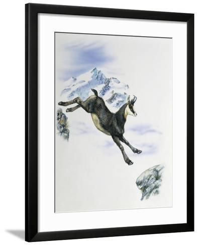 Side Profile of a Male Chamois Jumping on Rocks (Rupicapra Rupicapra)--Framed Art Print