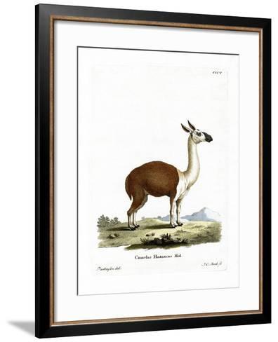 Guanaco--Framed Art Print
