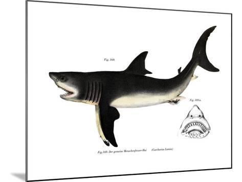 White Shark--Mounted Giclee Print