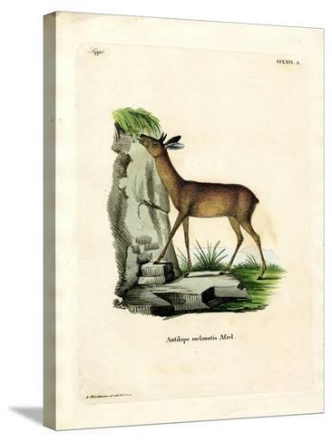 Cape Grysbok--Stretched Canvas Print