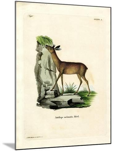 Cape Grysbok--Mounted Giclee Print