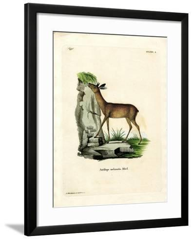 Cape Grysbok--Framed Art Print