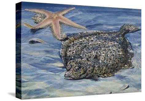 Turbot (Scophthalmus Maximus or Psetta Maxima), Scophthalmidae--Stretched Canvas Print