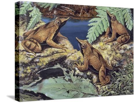 Close-Up of Three Darwin's Frogs in the Forest (Rhinoderma Darwinii)--Stretched Canvas Print