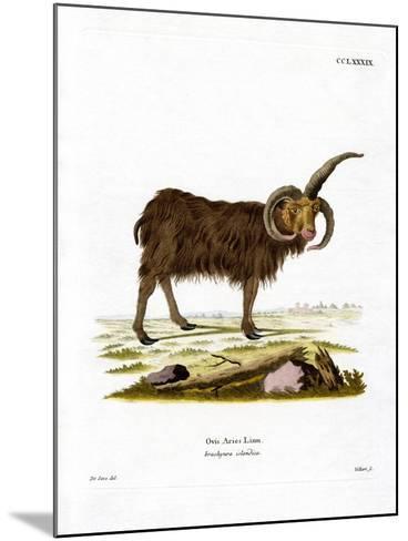 Jacob Sheep--Mounted Giclee Print