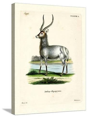 Waterbuck--Stretched Canvas Print