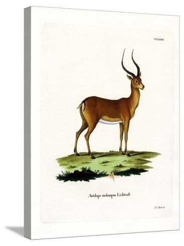 Impala--Stretched Canvas Print