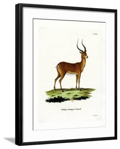 Impala--Framed Art Print