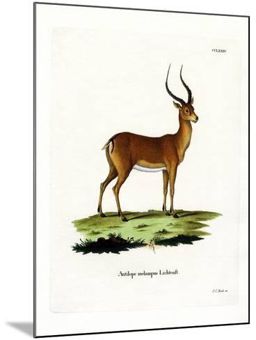 Impala--Mounted Giclee Print