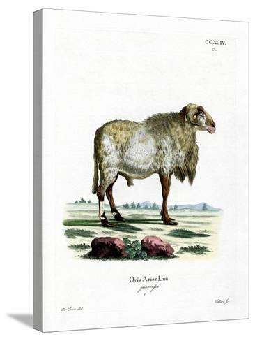 Guinea Sheep--Stretched Canvas Print