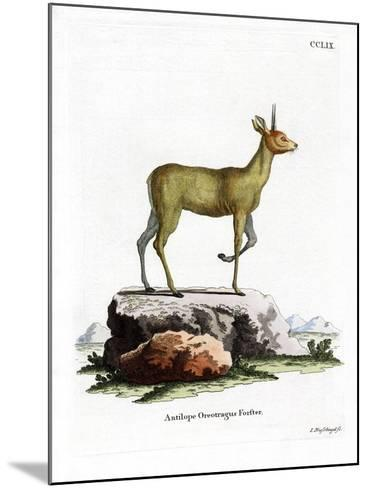 Klipspringer--Mounted Giclee Print