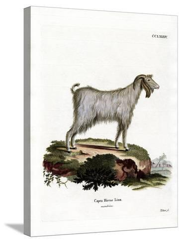 Mamber Goat--Stretched Canvas Print