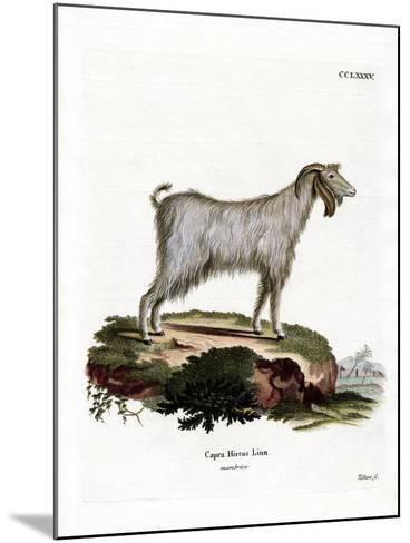 Mamber Goat--Mounted Giclee Print
