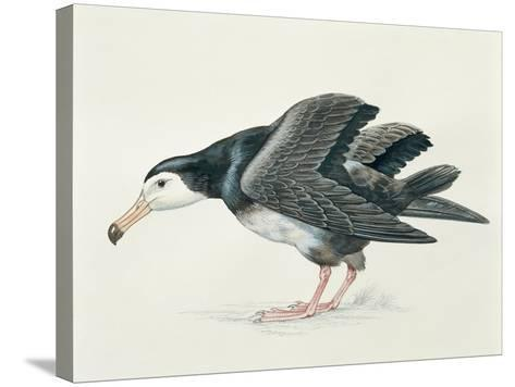 Close-Up of an Amsterdam Albatross (Diomedea Amsterdamensis)--Stretched Canvas Print