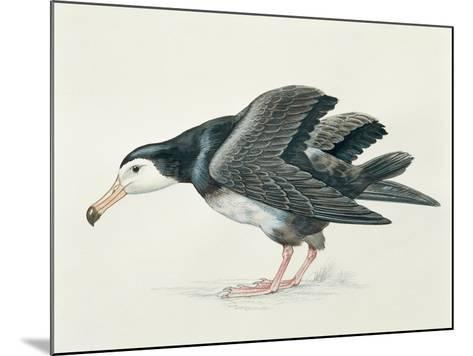 Close-Up of an Amsterdam Albatross (Diomedea Amsterdamensis)--Mounted Giclee Print