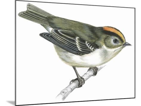 Birds: Passeriformes, Goldcrest (Regulus Regulus)--Mounted Giclee Print