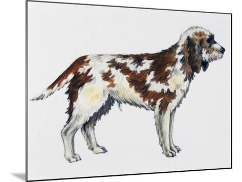 Briquet Griffon Vendeen (Canis Lupus), Canidae--Mounted Giclee Print