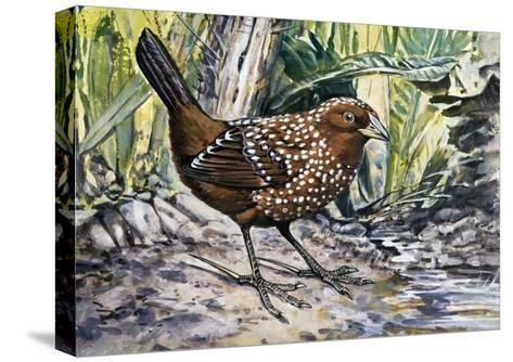 Ocellated Tapaculo (Acropternis Orthonyx), Rhinocryptidae--Stretched Canvas Print
