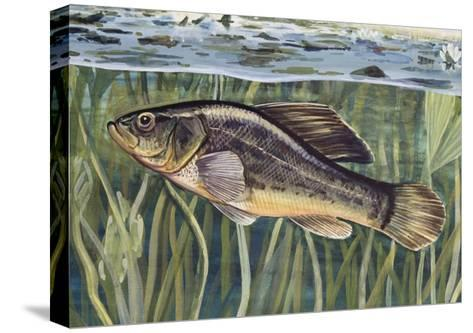 Pirate Perch (Aphredoderus Sayanus), Aphredoderidae, Drawing--Stretched Canvas Print