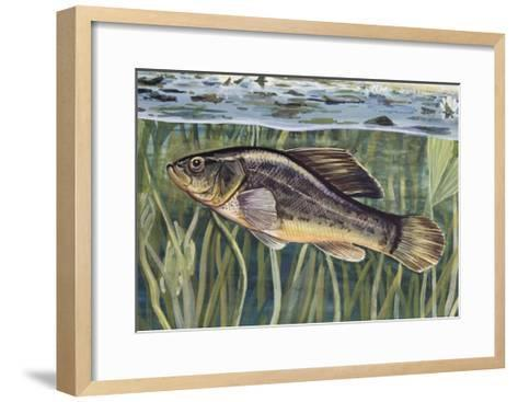 Pirate Perch (Aphredoderus Sayanus), Aphredoderidae, Drawing--Framed Art Print
