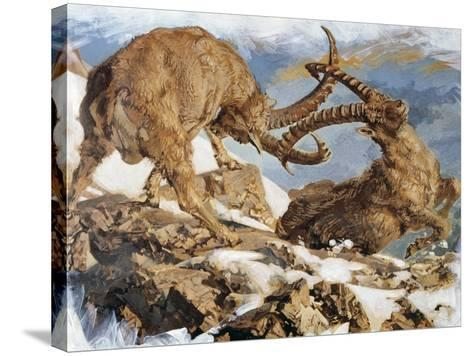 Two Male Alpine Ibex Fighting (Capra Ibex), Bovidae, Drawing--Stretched Canvas Print
