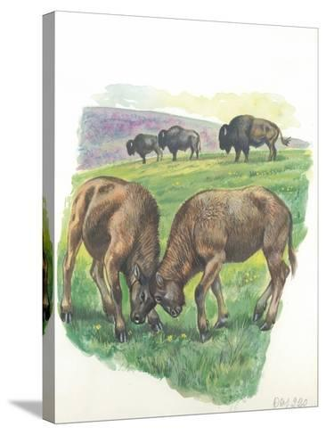 Young Male American Bison Bison Bison Fighting--Stretched Canvas Print