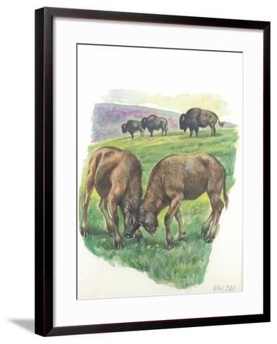 Young Male American Bison Bison Bison Fighting--Framed Art Print