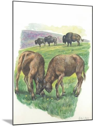 Young Male American Bison Bison Bison Fighting--Mounted Giclee Print