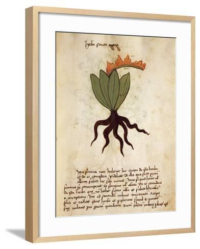 Costmary or Balsam Herb (Tanacetum Balsamita)--Framed Art Print