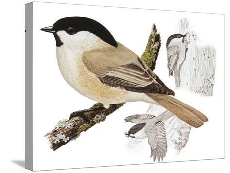 Zoology: Birds, Willow Tit (Poecile Montanus)--Stretched Canvas Print
