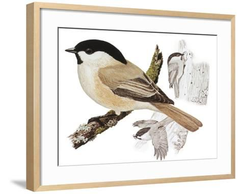 Zoology: Birds, Willow Tit (Poecile Montanus)--Framed Art Print