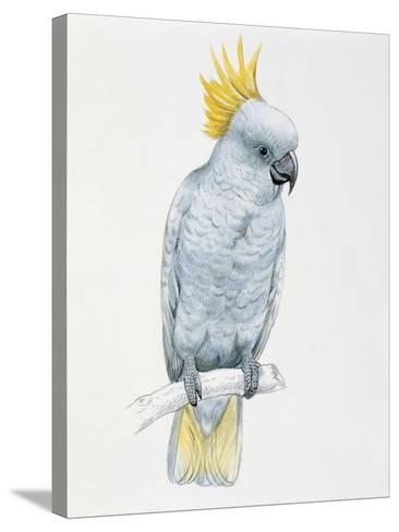 Close-Up of a Sulfur Crested Cockatoo (Cacatua Galerita)--Stretched Canvas Print
